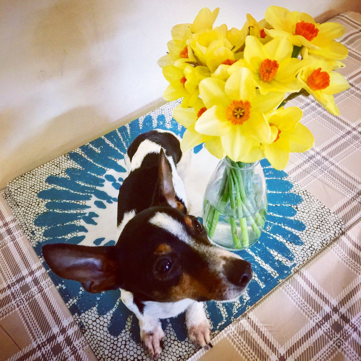 Happy Easter from Iggy and the HikerHounds Pack! 🐣 #EasterBunny #daffodils #dogsoftwitter #Dogfamily #AdoptDontShop