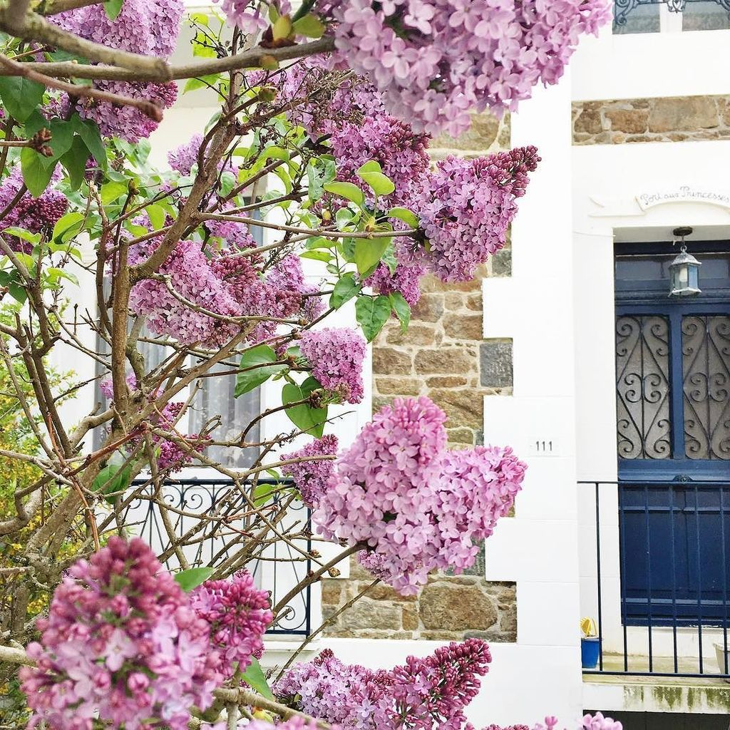 #lilac in full bloom and icon blue doors of #bretagne - the streets of #saintmalo really are so beautiful  #cest…  http:// ift.tt/2psjL5b  &nbsp;  <br>http://pic.twitter.com/aTCf684fW9