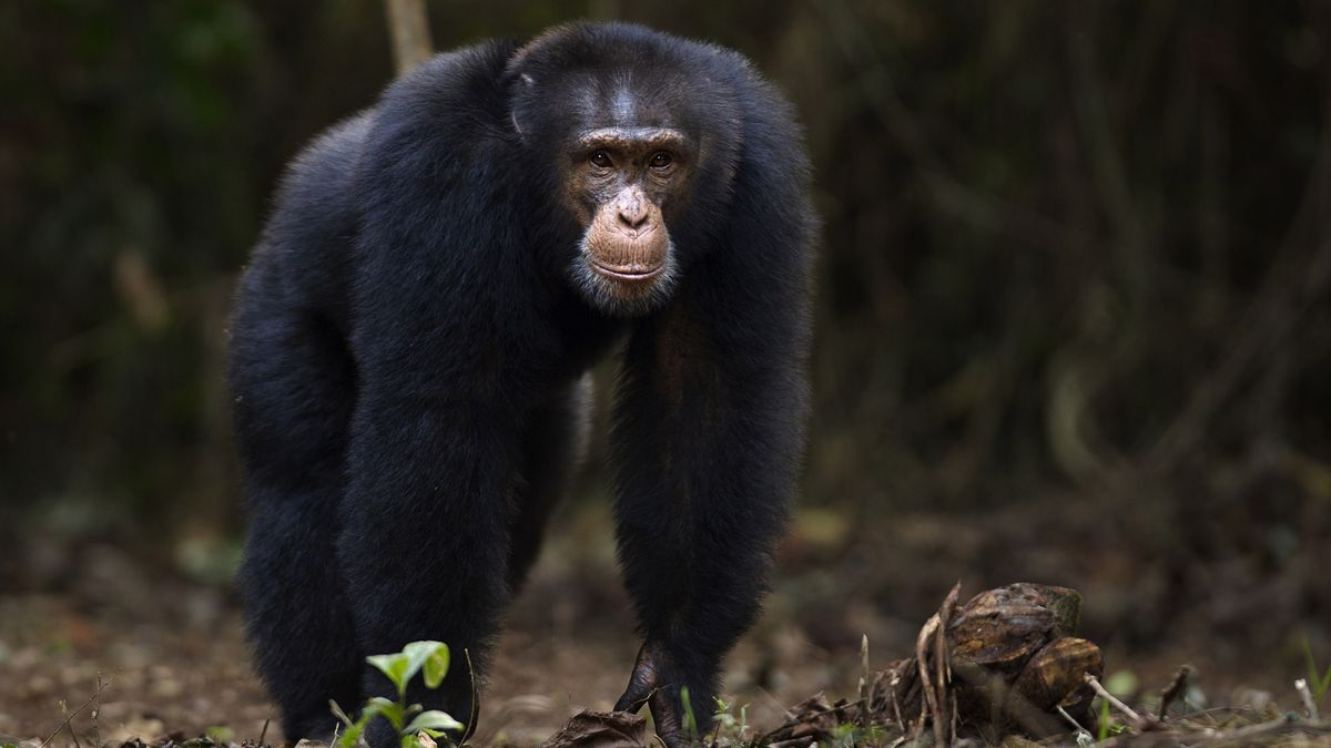 Study Finds Chimpanzees Only Other Animal Capable Of Keeping Lid On Friend's Affair trib.al/AG6wvbs