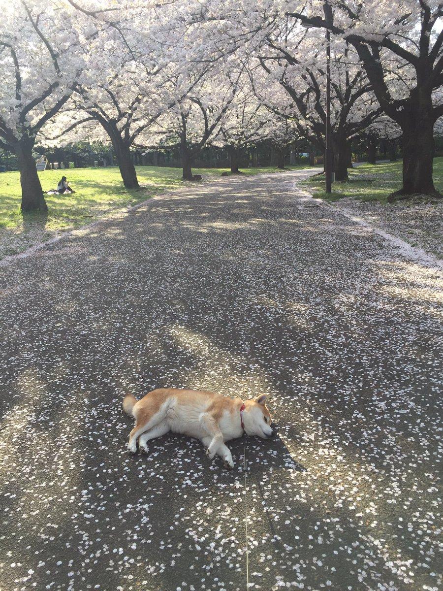 日本の春、 日本の犬。 平和である。