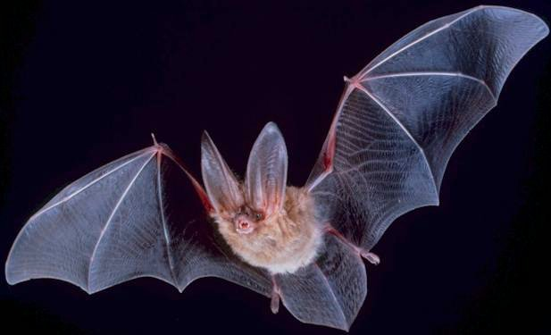 Bats can eat up to 1,200 mosquitoes in one hour. #BatAppreciationDay https://t.co/fZrGxdW2Z7