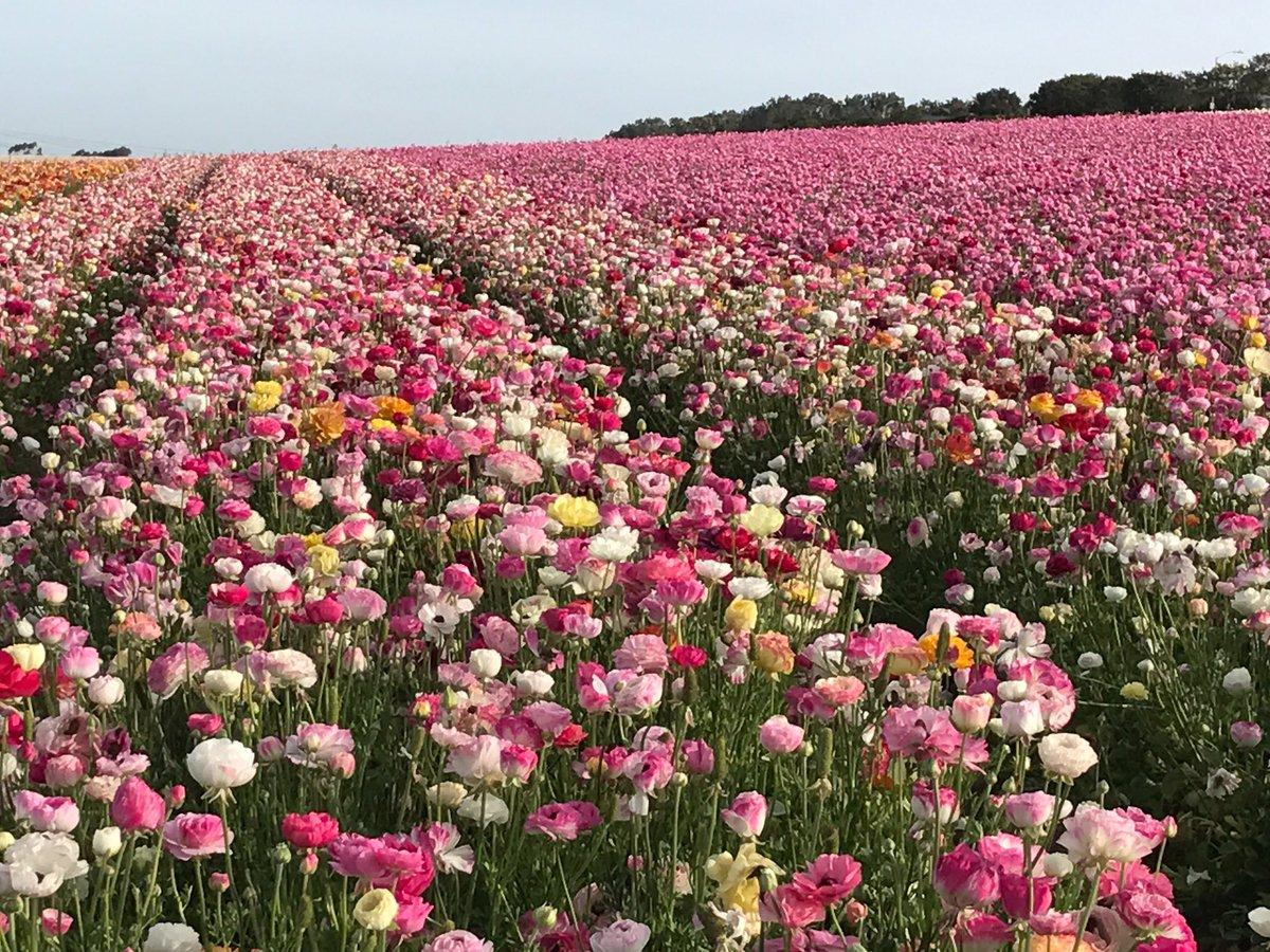 The Flower Fields TheFlowerFields
