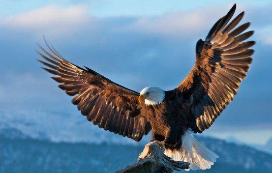 530+  Gambar Burung Elang Rajawali  Paling Unik Gratis