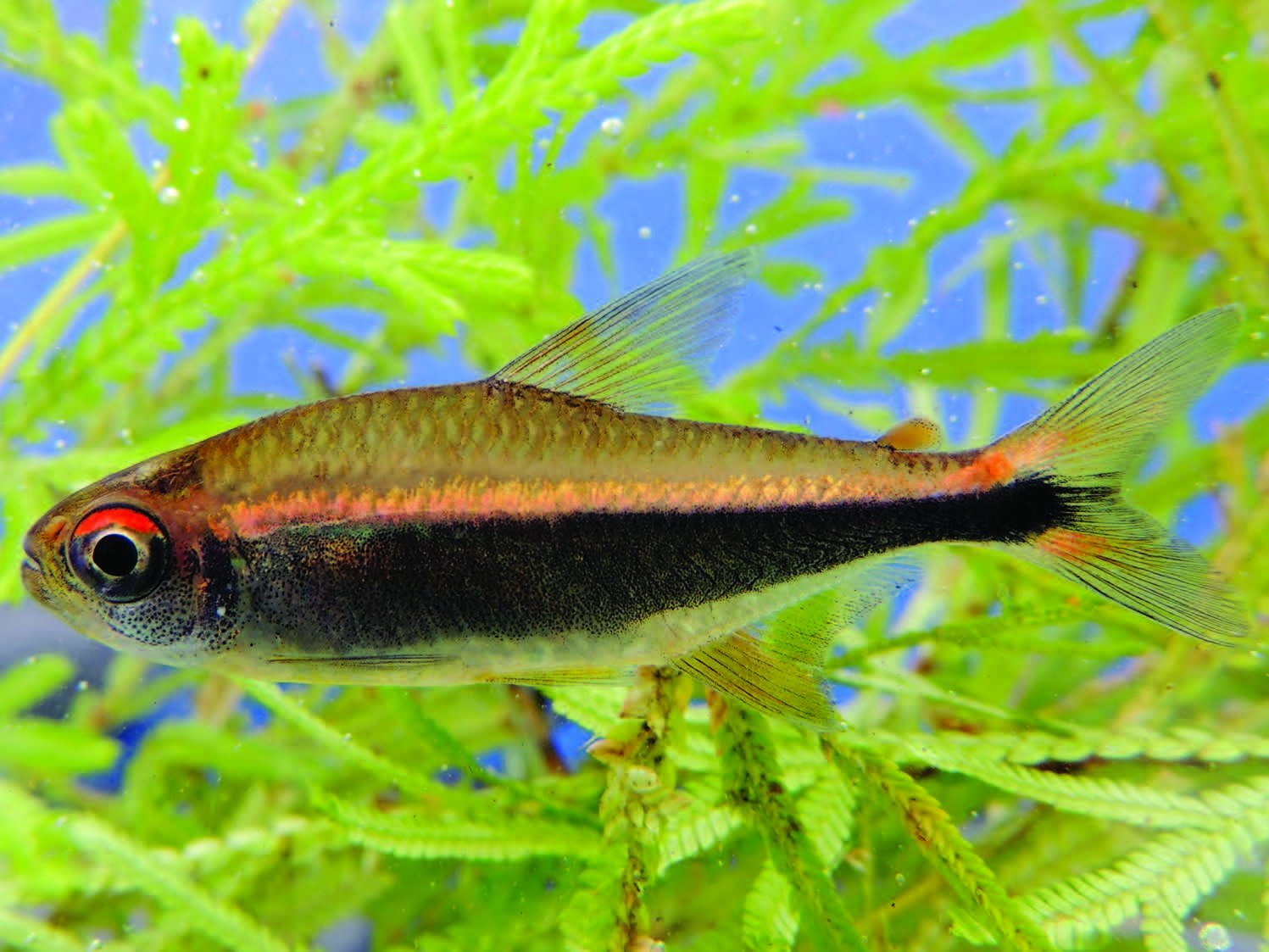 A tetra from Colombia