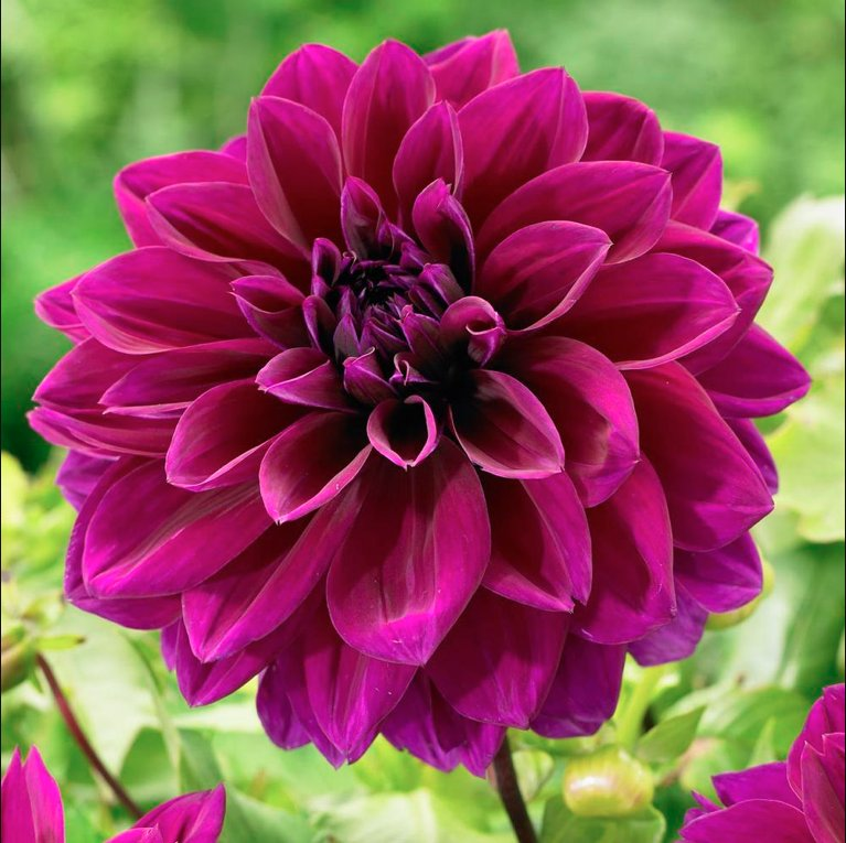 It's a great day to be talking about dahlias on #plantchat starting right now. https://t.co/F4aP9quwFP