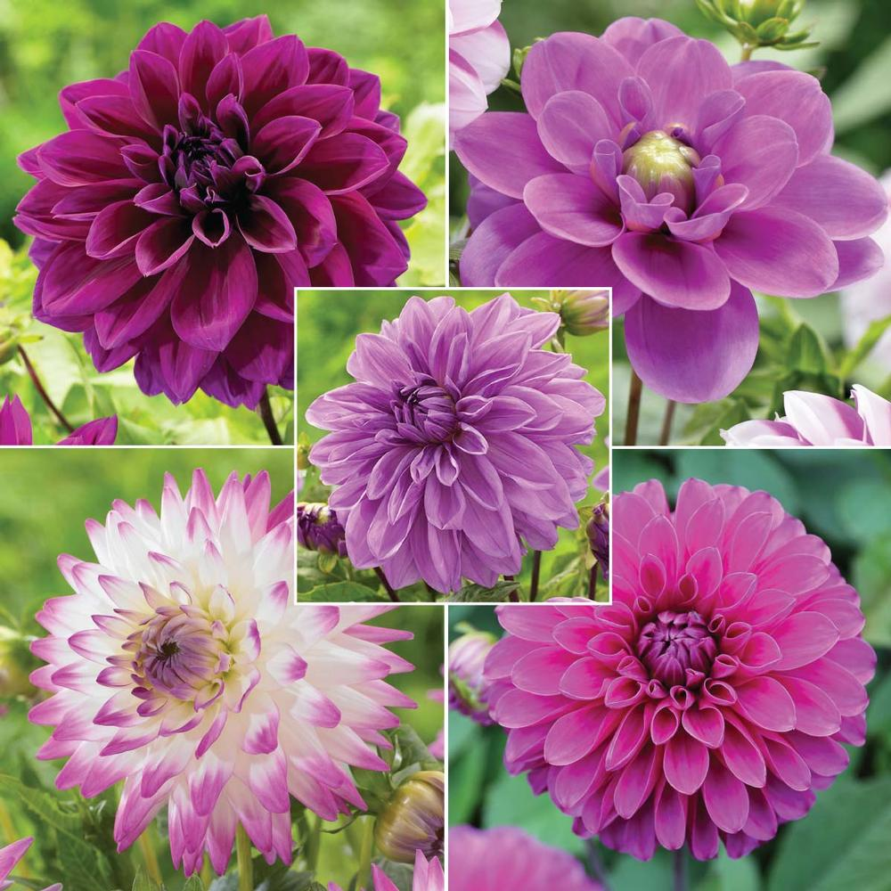 PRIZE from @LFGardens is their Purple Dahlia Collection: 5 varieties, 15 bulbs; $56.75 value #plantchat https://t.co/ETaKb36Xpk