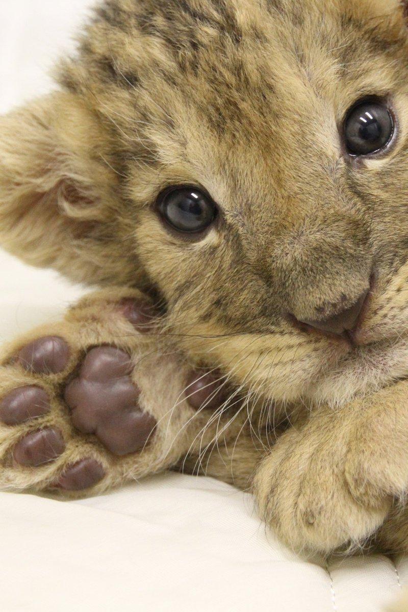 ミルクを飲んだ後は、ゴロンとします ( ^ω^ )#赤ちゃんライオン #富士サファリパークfujisafari.co.jp pic.twitter.com/h3KHYzYsO4