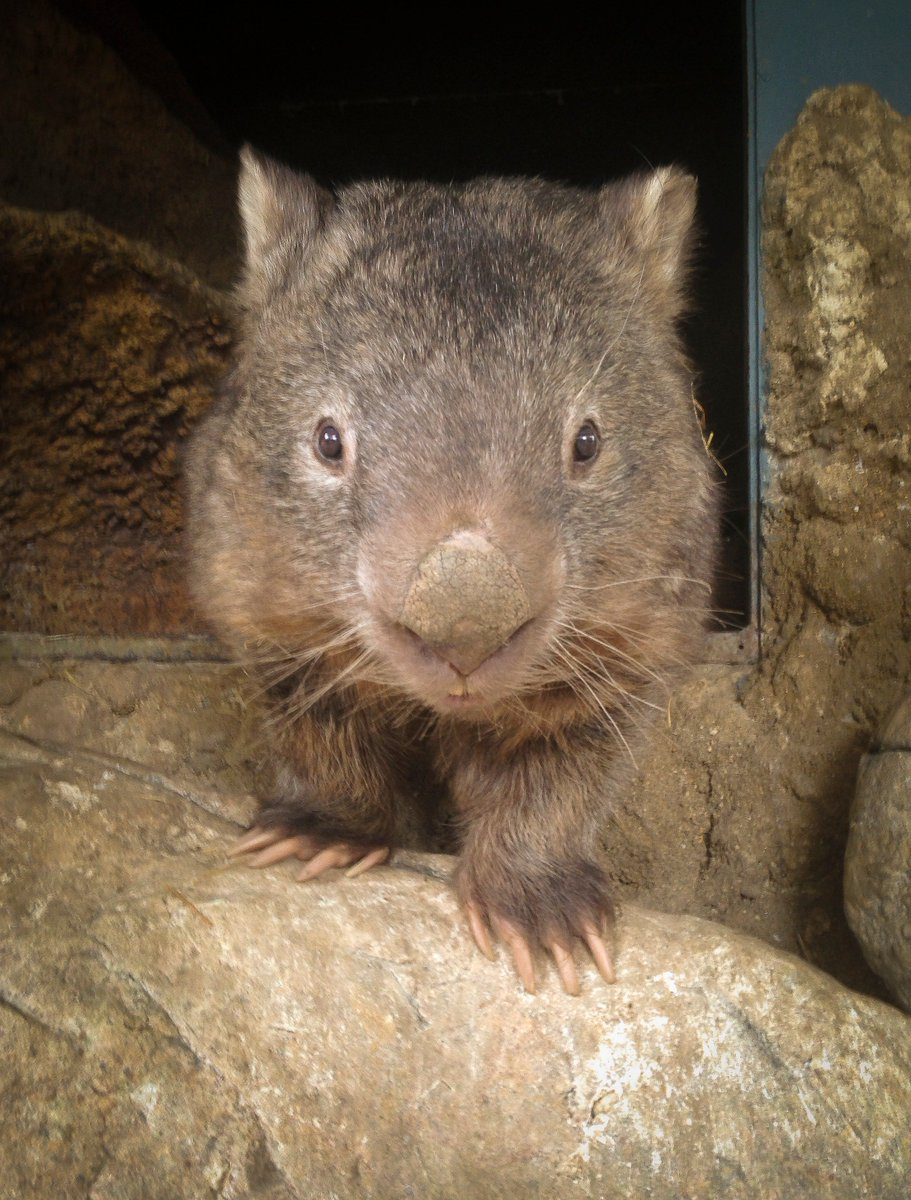Social media mourns world's oldest bare-nosed wombat, Patrick, dead at 32