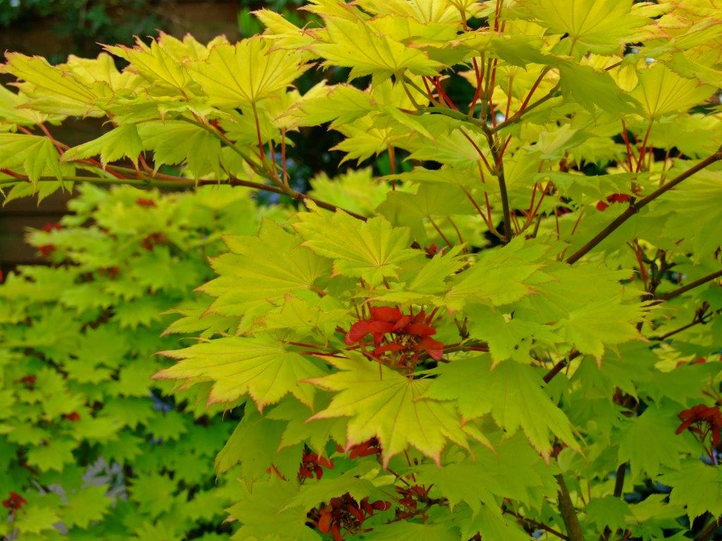 Hta News On Twitter Top Maples Try Acer Palmatum Bloodgood