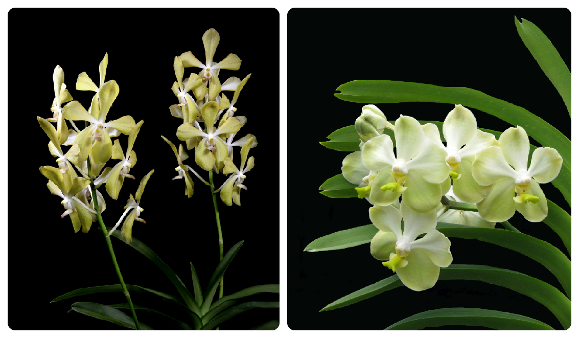 To honour Mr Lee Kuan Yew, we have named an orchid after him – Aranda Lee Kuan Yew. http://t.co/AVPxK65SWO http://t.co/QE4pOE9Bcm