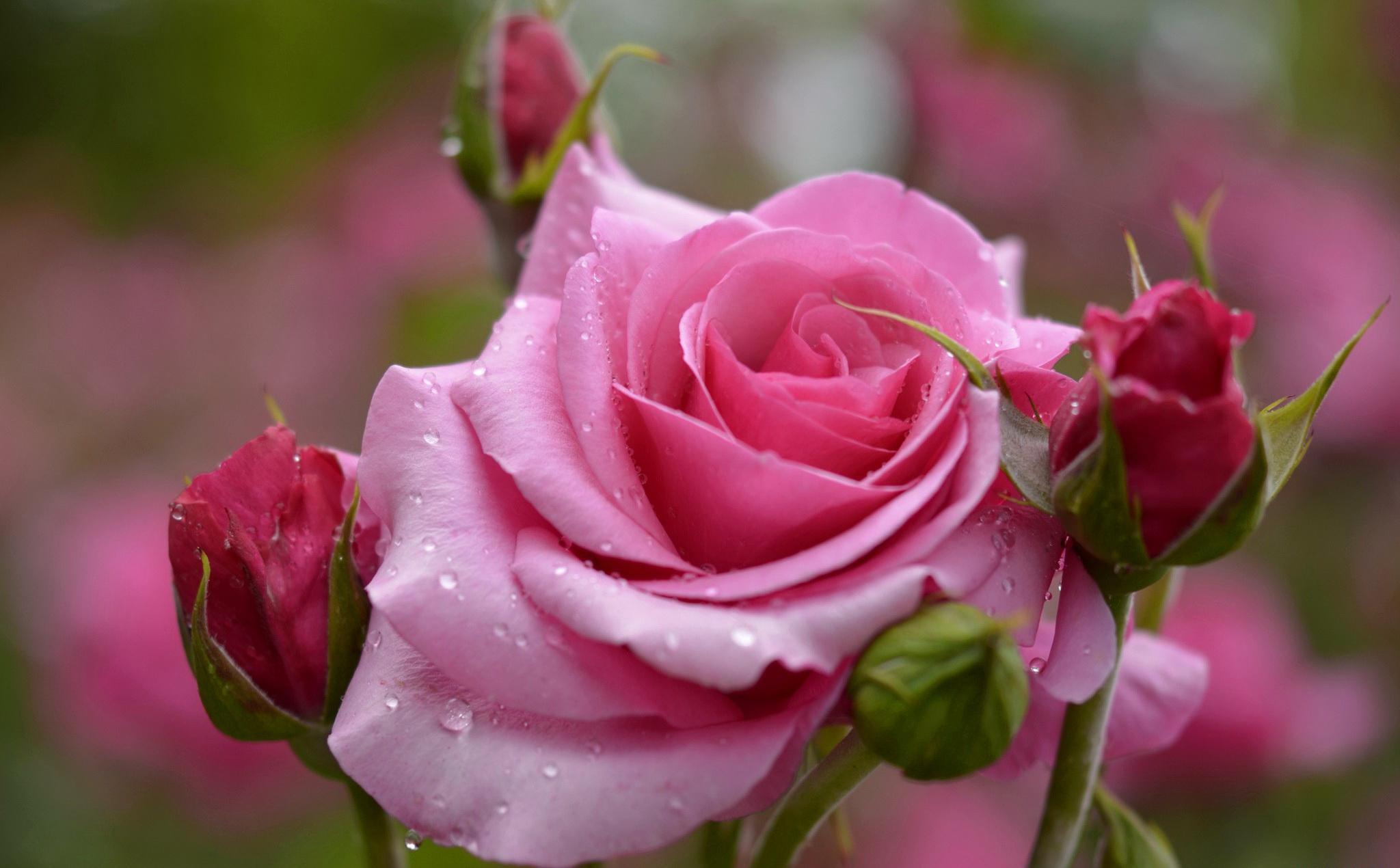 Открытки с красивыми розами для друзей, днем василя