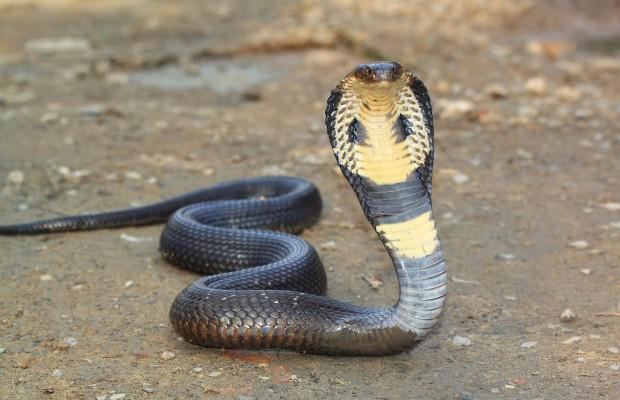 Snake fight thesis
