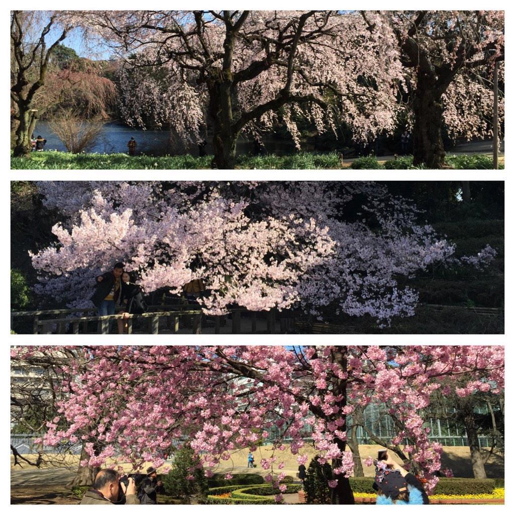 동경 신주쿠공원에 잠시 차를 세우고 흐드러지게 핀 벚꽃 삼매경에 빠지다... http://t.co/jADz9wXNcn