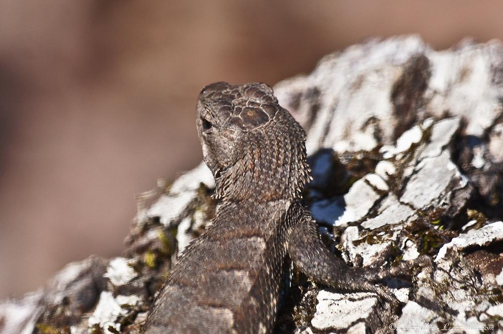Miniature Dinosaur emerges to bask in spring sun http://bitly.com/HOP03252015  #Lizard #NationalParks #HotSprings #Nature