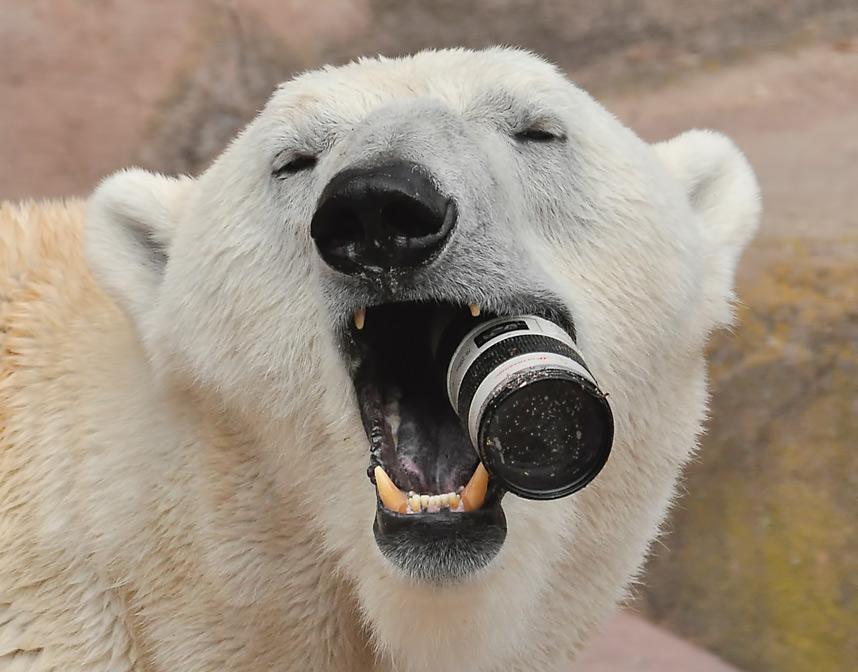 Веселые картинки белые медведи, открытки