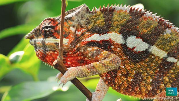 Tiny crystals under their skin are the key to chameleon colour-chan