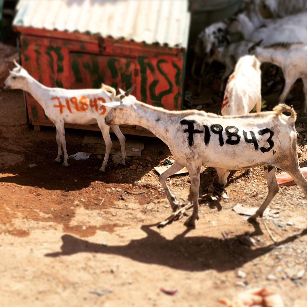 Only in #Somalia: Writing your phone number on your goats & sheep so that they aren't lost. I took this in #Galkayo. http://t.co/Tybc8Q2xf9