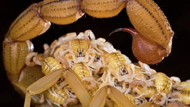 arachnids scorpions lay eggs bear live | ScienceAlert