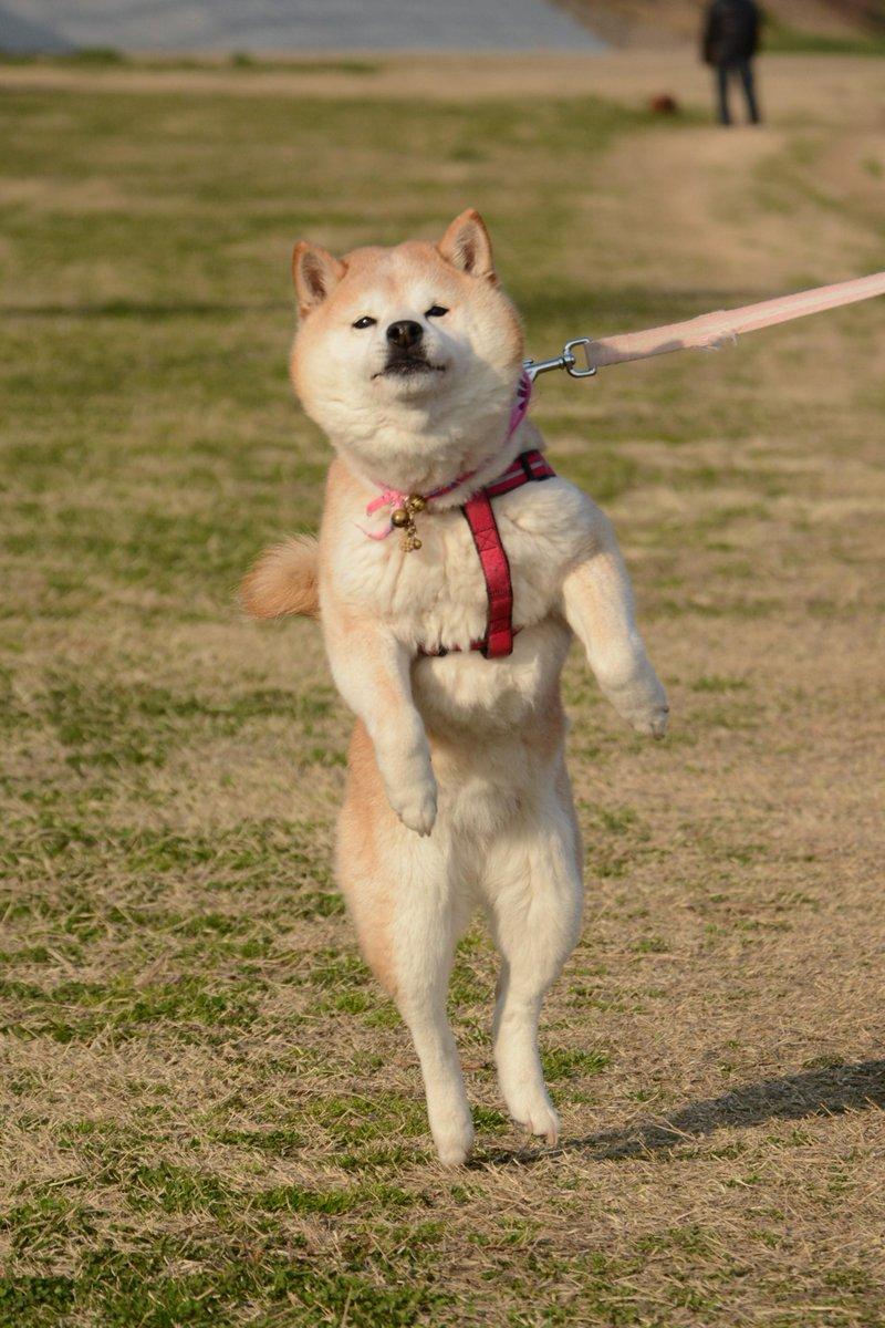 マッチョポーズの柴犬、マッスル柴子(仮名)さん。 マジでボディービルのポーズw http://t.co/ERIY83kqL4