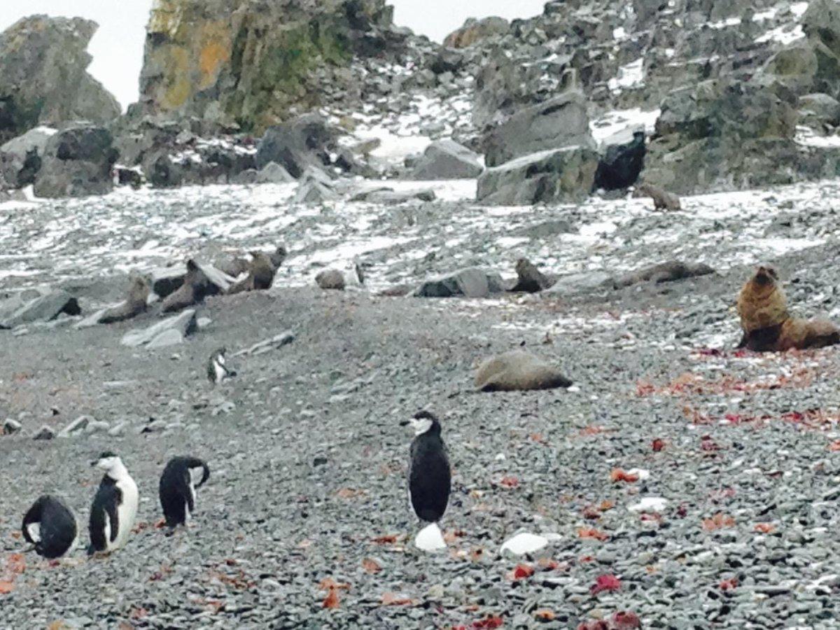 みんなー今日も一日お疲れ様なっしー♪ヾ(。゜▽゜)ノついに上陸開始なっしー♪ペ、ペ、ペンギンだぁぁぁ!野良アザラシや野良オットセイもたくさんいるなっしー♪よちよち歩いているペンギンたまらんなっしー♪ pic.twitter.com/jdFwdG0MpV