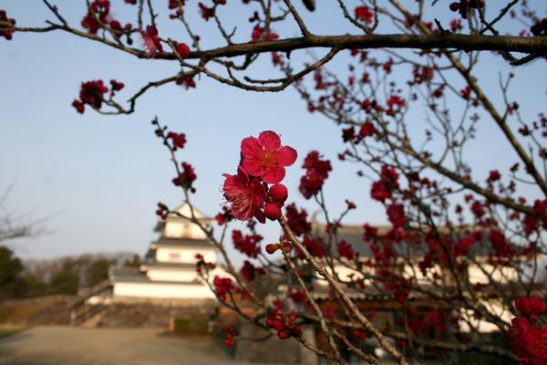 きのう仙台で梅の開花が発表されました 宮城県白石市の伊達政宗公の無二の忠臣片倉小十郎の居城でした白石城でもきれいな梅が咲いていました 東北にも少しづつ春が近づいてきています ( ´ ●×・) pic.twitter.com/J8soTmKGu4