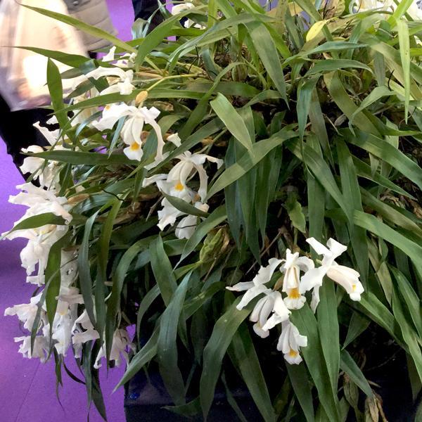 Coelogyne Cristata Orchidee e Coelogyne Cristata