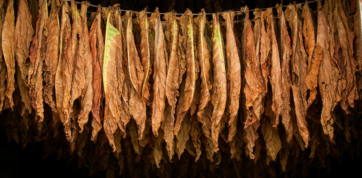 After a carefully drying process, only the best tobaccos can be part of a Te-Amo Cigar.#cigarlife #cigarians #cigars http://t.co/3Ty7W5rAHO