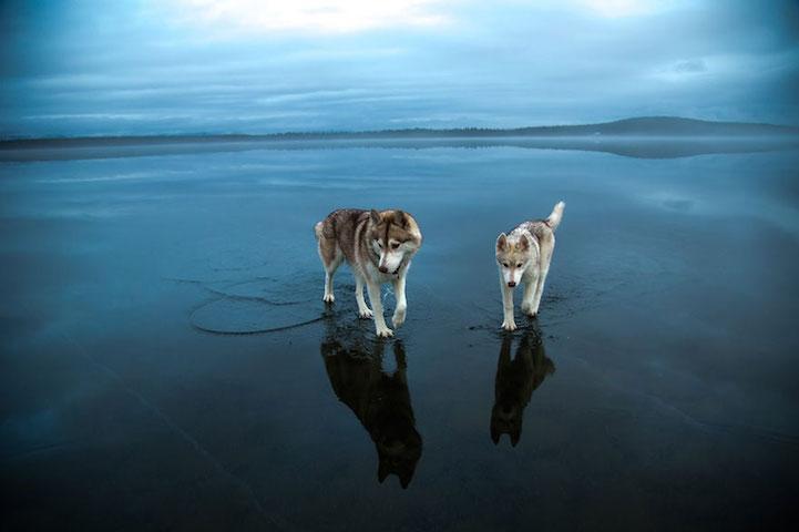 まるで犬が「湖の上を歩いている」みたい。実は凍結した湖の上に雨が降ったそうなんだが、それが水の上を歩いているかのような錯視効果を生み出している。