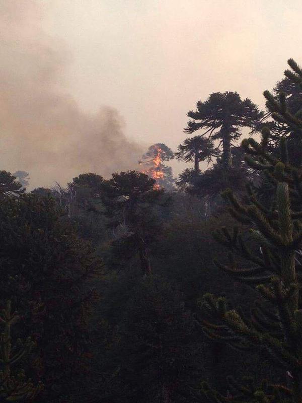 """""""@AliciaDesperto: se están quemando Araucarias de miles d años. Pumas, aves y zorros. #Conguillio http://t.co/1XBHmvuZZL"""" Rt"""""""