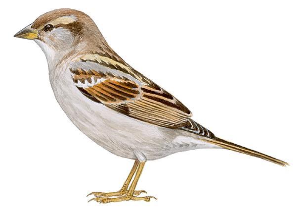 Hoy es el #diamundialdelgorrion Aquí la explicación de por qué desaparecen: http://t.co/v5qnrZrabN #sparrowday http://t.co/rxEyZl6Q9h