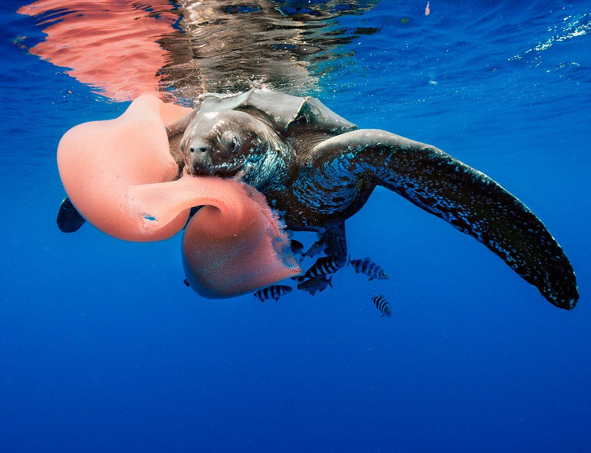 Here's a turtle eating a pyrosome http://t.co/J7MvHELfk1 some pyrosomes grow bigger than sperm whales