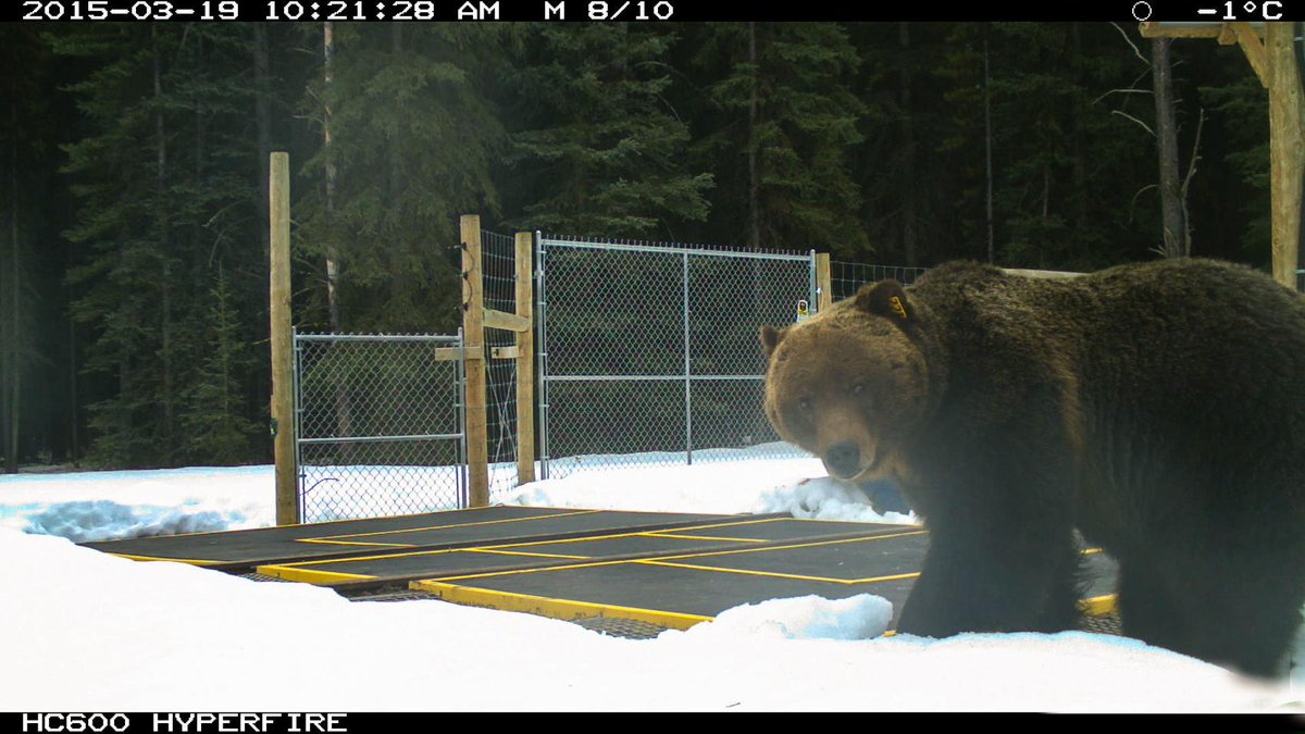 The first confirmed bear sighting in @BanffNP for 2015 was captured on remote camera March 19.  #GB122 http://t.co/9cfnSaQiGu