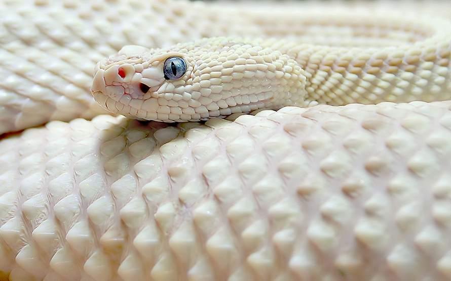 Michael J D Warner On Twitter Leucistic Texas Rat Snake A Rare Beautiful White Snake Native To Texas And Parts Of Africa Reptiles Animals Http T Co Q1jwxddrmv