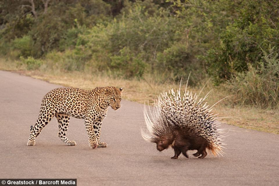 【南アフリカ共和国】野生動物愛好家リースル・ムールマンがクルーガー国立公園で撮影した、ヒョウvsヤマアラシンの戦いbarcroft.tv/porcupine-figh…戦意喪失したヒョウの顔がなんとも^^; pic.twitter.com/dL3F57vqob