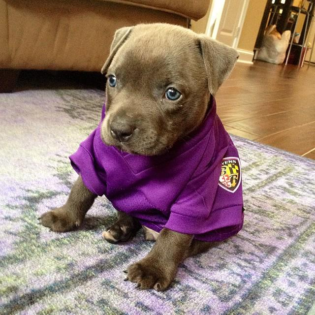Happy #NationalPuppyDay! Show us how your pup sports the purple and black, and supports #RavensNation. http://t.co/QUJx0zALCt
