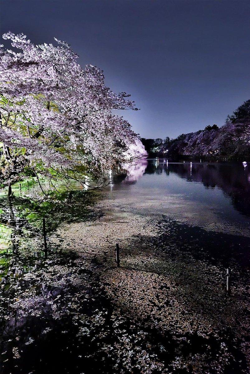 井の頭公園 夜桜 (2015) pic.twitter.com/iuGKzDAEgI