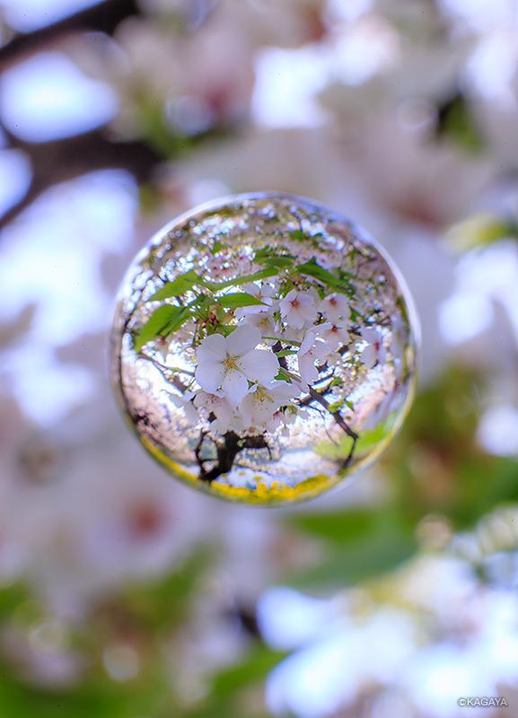 本日東京、千鳥ヶ淵の桜。 pic.twitter.com/qqyLbQkwzk