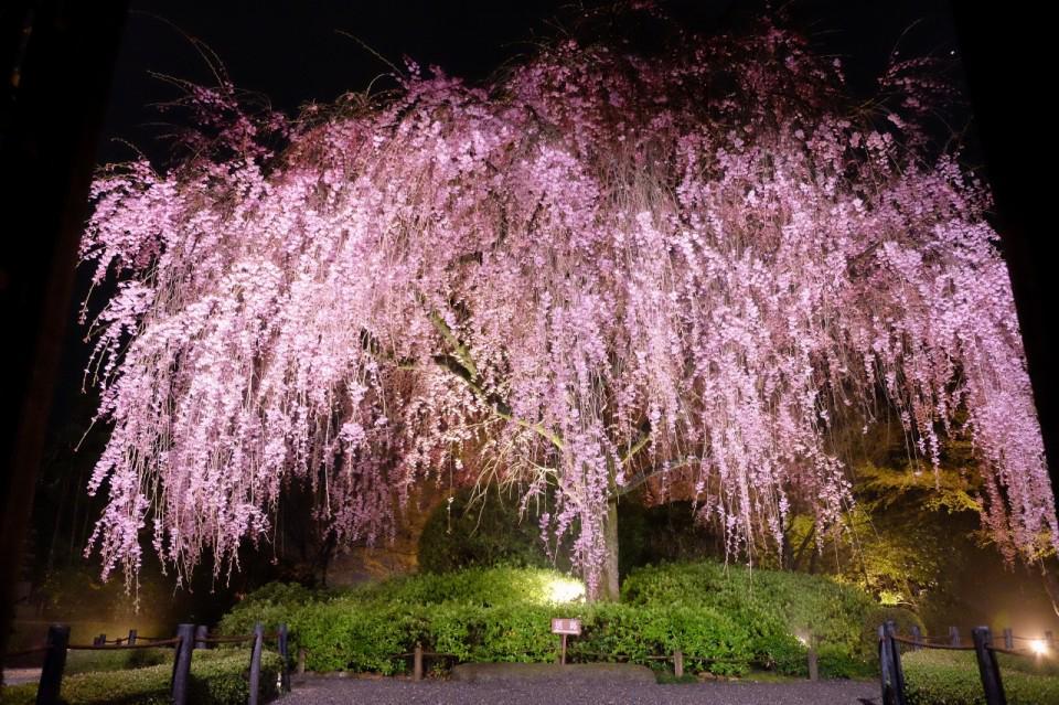 夜のさくらは妖艶です。 - taizoin.com/gallery/1169/ pic.twitter.com/QOGNmOtVIr