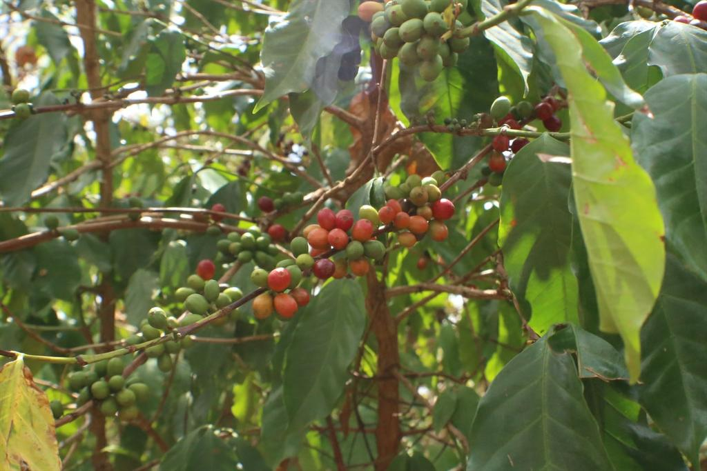Those are some good lookin' cherries #coffee #KewEthiopia ☕ http://t.co/ypINLXUraY