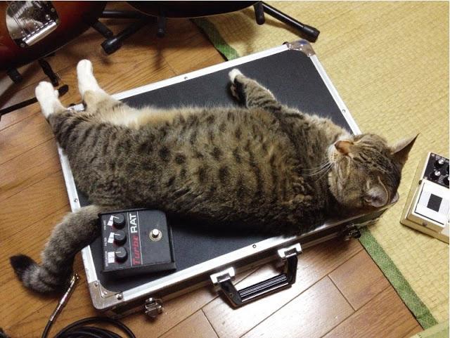 PUMAのことなど頭の片隅にもない、エフェクターボードの上で眠るうちのねこ。 http://t.co/RHa49DLkZy