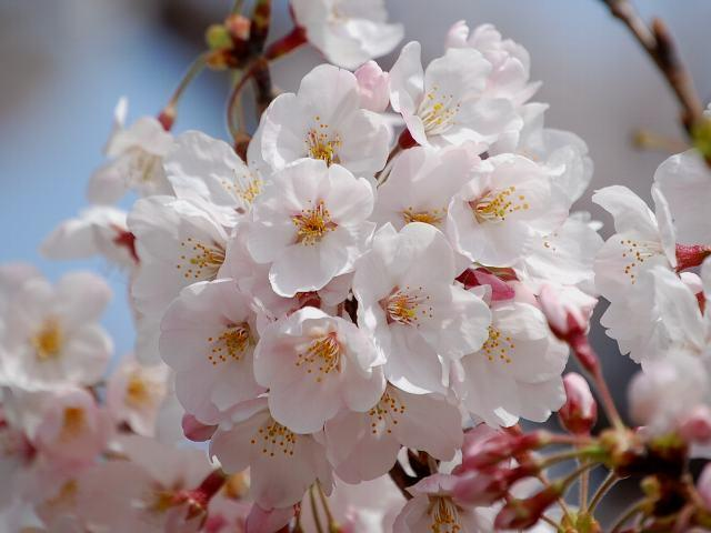 庭桜そっと覗けば一家族 #jhaiku #poem http://t.co/GNjbElUbHj