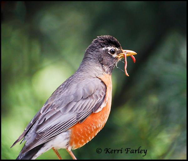 American Robin with Breakfast ~  http://t.co/x4PnH33xLH ~ #birds #nature - http://t.co/axkUmMjrLv