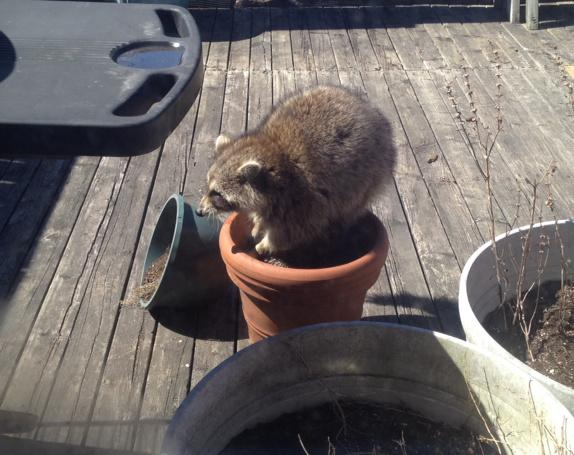 The raccoon seeds we planted in the fall are coming up early. http://t.co/8XEu18JgrF