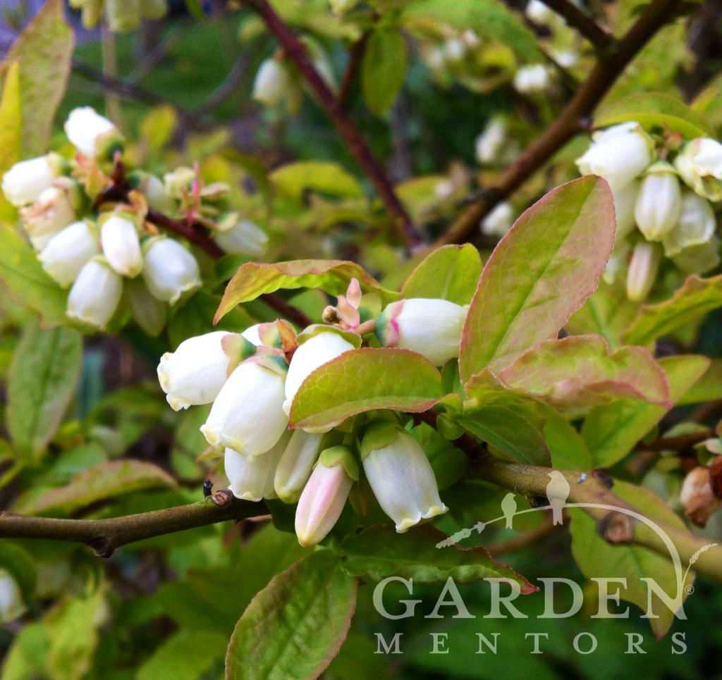 Blueberries to be. #bumblebees are foraging this part of #GrowYourOwn #food #garden today #gardenchat #pollin8rchat http://t.co/q30mAfyL5C