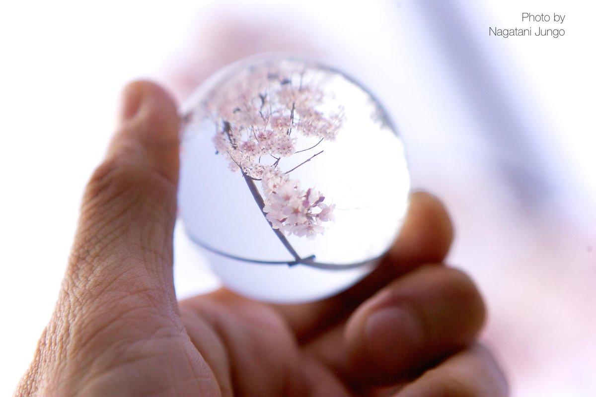 枝垂れ桜をガラス球に閉じ込めて  http://t.co/9h3SIQJOyl #桜 #桜2015 #島根 #松江 http://t.co/TBGqJeXdf7
