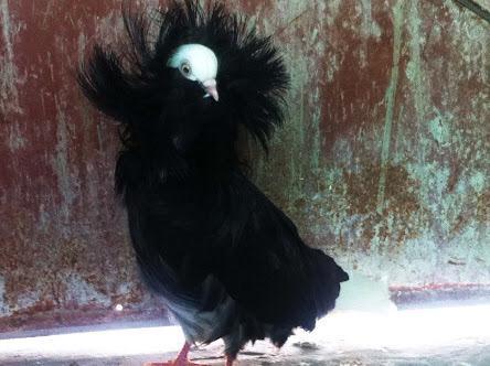 「ジャコビン」という品種の鳩がいますが、とても好みです。鳩の中ではこれが一番美しい品種だと思う。 pic.twitter.com/1kbOqsVusM