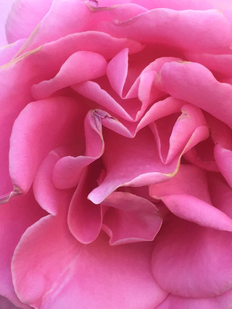 Melanie Griffith On Twitter Beautiful Rose From My
