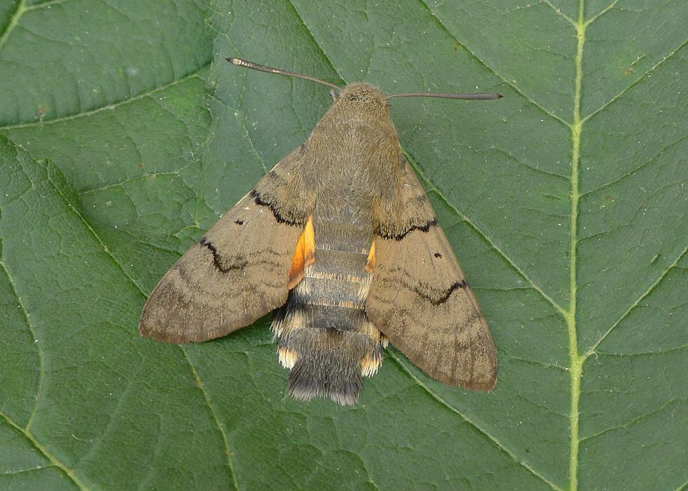 Migrant Lepidoptera On Twitter Andynew60 Martinswarren Correct Andy This One Was In A Moth Trap