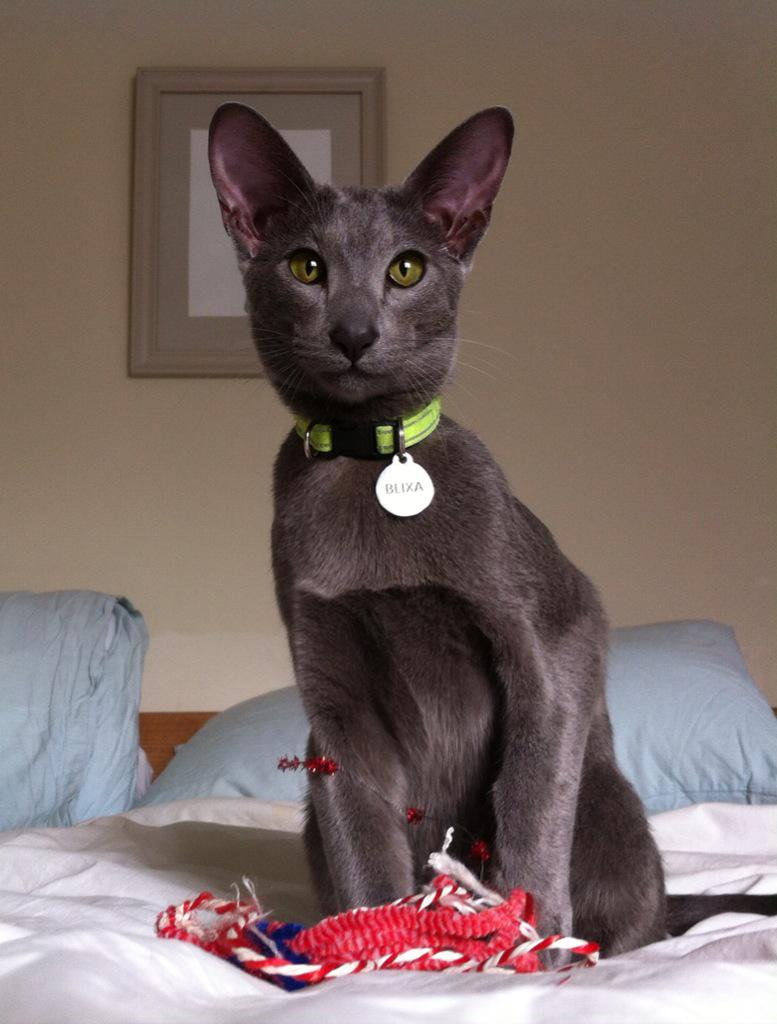 Our cat Blixa, a blue oriental, is MISSING. Walthamstow. Thorpe Cres/Keith Rd. Chipped w/ phone no on tag. Please RT http://t.co/uGW1ia4KpA
