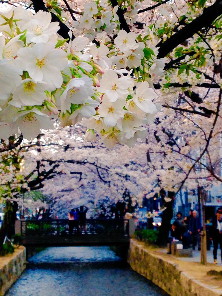 京都、高瀬川の桜が咲き乱れてます。 春の京都は今週がベスト!とゆうわけで、4/2のMUSE25周年イベントへも皆様是非!スリーマンなのでたっぷりやるよ!! http://t.co/fbDRdX1QX9